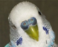male budgie head