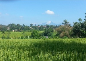 Rice fields outside Ubud