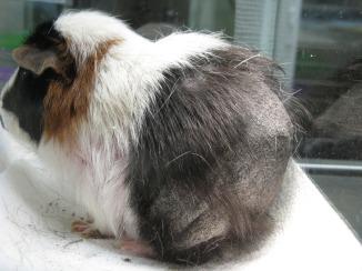 Mites in a Guinea Pig