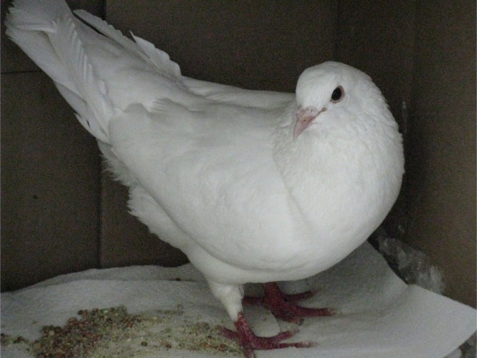 Wendel the King Pigeon