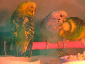 These budgies have scaly leg mites!