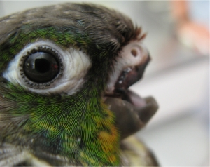 conure no beak